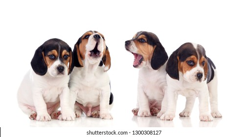 Many beagle puppies isolated on a white background