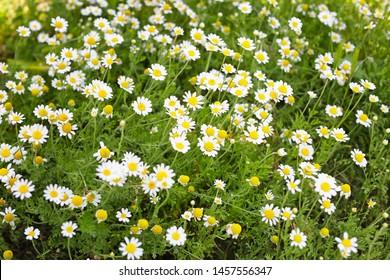 Many beautiful chamomiles in field