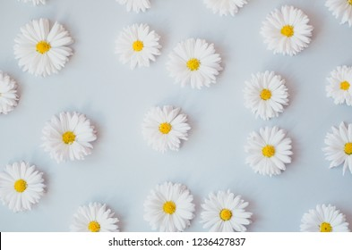 Many beautiful daisies evenly arranged on a gray background,