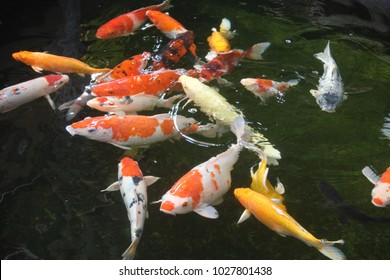 Many beautiful koi fish in a pond at home.