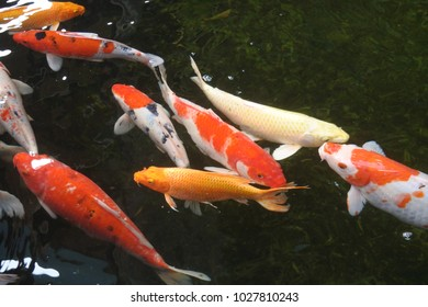 Many beautiful koi fish in a pond at homp