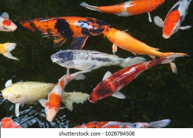 Many beautiful koi fish in the pond at home.