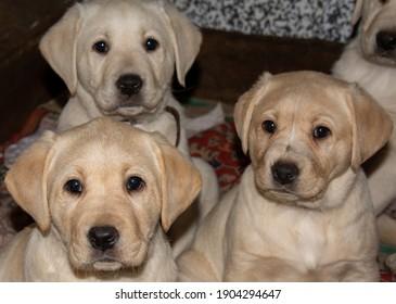 many beautiful Labrador Retriever puppies
