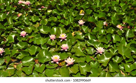 Many beautiful pink lotus flowers or waterlily in a pond, suitable for background, texture, wallpaper use