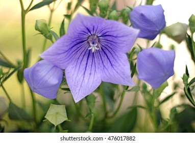 many beautiful platycodon grandiflorus flower in the garden