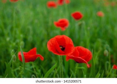 Many beautiful red flowers, poppies on a beautiful green background. Other names are Papaver rhoeas, common poppy, corn poppy, corn rose.