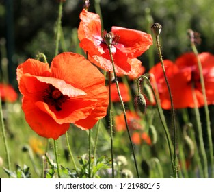Many beautiful red flowers, poppies on a beautiful green background. Other names are Papaver rhoeas, common poppy, corn poppy, corn rose. This poppy is notable as an agricultural weed.