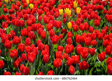 many beautiful red tulips blooming during spring
