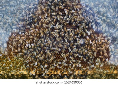 Many bees in a hive behind glass.