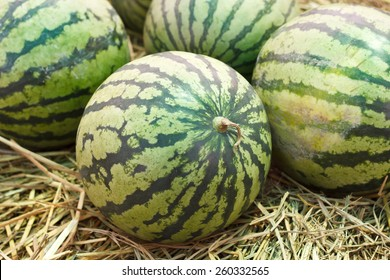 Many big sweet green watermelons