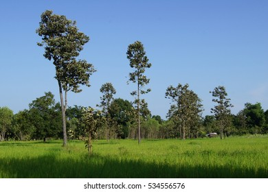 The many big tree is in the paddy field