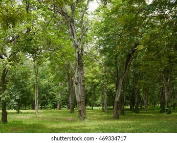 many big trees in the garden