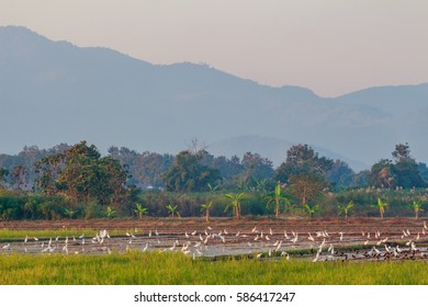 Many birds in the rice fields.