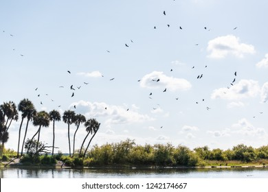 Many birds vultures flying in sky above palm trees and deep hole famous alligator lake pond in Myakka River State Park, Sarasota, Florida