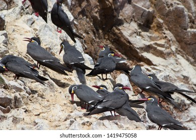 Many Black Inca Terns with red bill, Peru. Inca Tern, Larosterna inca, birds in paracas conservation area on Peruvian coast. Birds in the nature sea forest habitat. Wildlife scene from nature