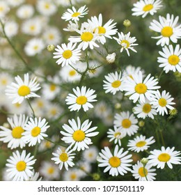many blooming daisies in the field / summer wildflowers