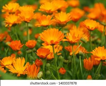 Many blooming orange flowers Calendula officinalis (marigold). Macro Photography, selective focus.