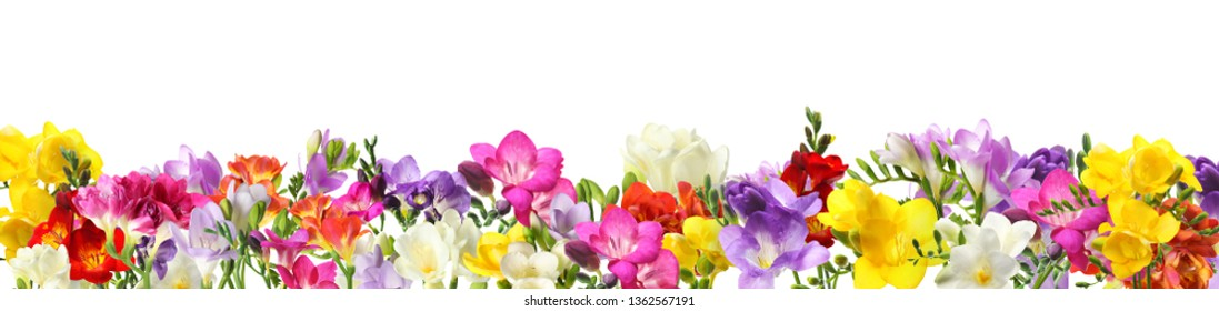 Many blooming spring freesia flowers on white background