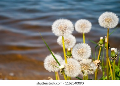 Many blowballs against blue water background. Bright white dandelions close-up.