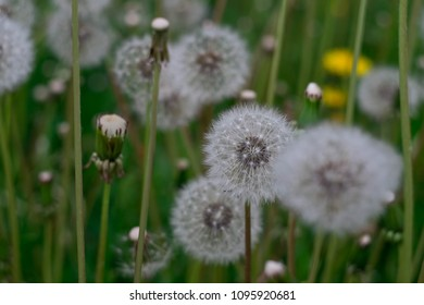 many blowballs in the grass