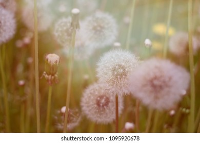 many blowballs in the grass/ warm sunlight