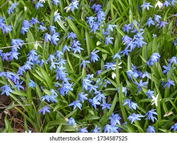 Many blue spring flowers as a floral background