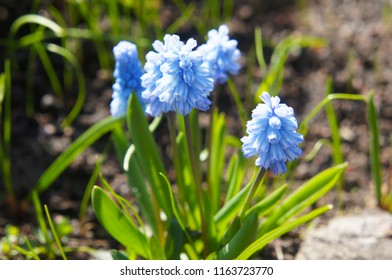 Many blue and white muscari spring flowers