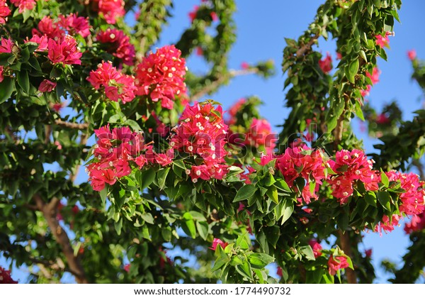 many-branches-flowers-bougainvillea-600w