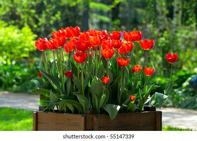 Many bright red tulips on the sun in the wooden box