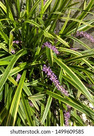 Many bud of Liriope muscari seem to bloom soon.