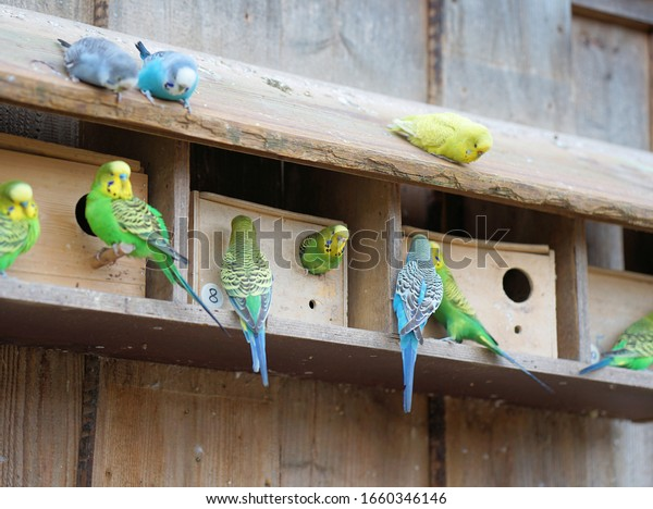 many budgerigars in front of the bird house