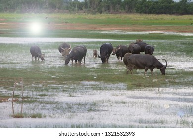 Many buffalo are living in lowland areas.