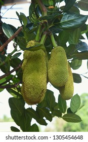 Many bunch of jackfruits hanging from a big jack tree during summer season in Kerala India. it is multiple fruit,  grows well in tropical climate. Raw one used to make curry.