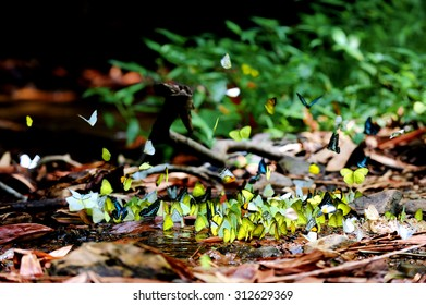 Many butterflies gathering water on floor at Kaeng Krachan National Park, Phetchaburi (Thailand)