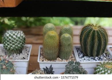 many cactus in the pot