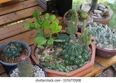 many cactus in the pot at home