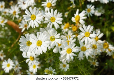 Many camomile flowers herb