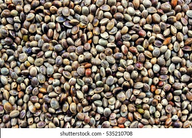 Many Cannabis seeds