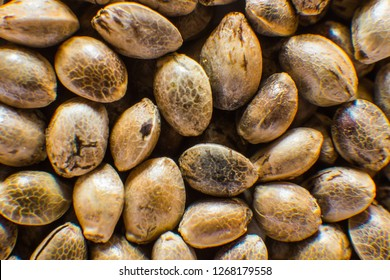 Many Cannabis seeds. Organic Hemp seed. Close up. Macro detail of marijuana seed. Hemp seeds background in macro.