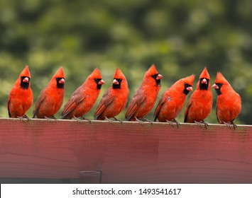 many cardinals on the fence