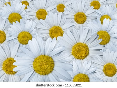 Many chamomile flowers, closeup picture