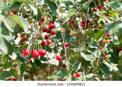 many of cherries on tree at sunny day