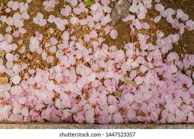 Many cherry flower petal on ground at Busan, South Korea