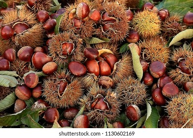 Many chestnuts just being harvested from a tree in Japan in autumn. Conceptual image of harvest in autumn.