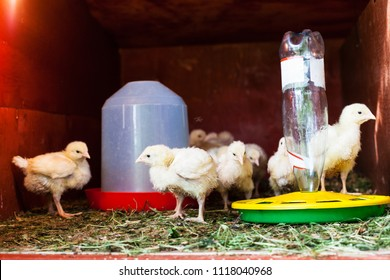 many chicks in chicken coop near feeder and drinking bowl