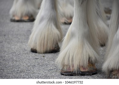 Many Clydesdales' Hooves