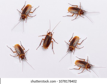 Many cockroaches on the white background.
