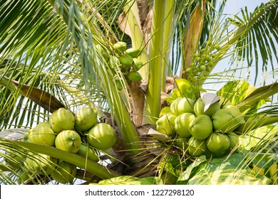 Many coconuts on the tree. Fresh coconut, small coconut