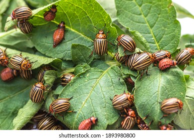 Many Colorado potato beetle.Colorado beetle eats a potato leaves young.Colorado potato beetle on a light background.