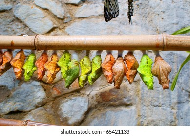 Many colored cocoons hanging on a bamboo stick